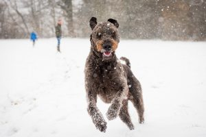 Labradoodle dog jumping in the snow