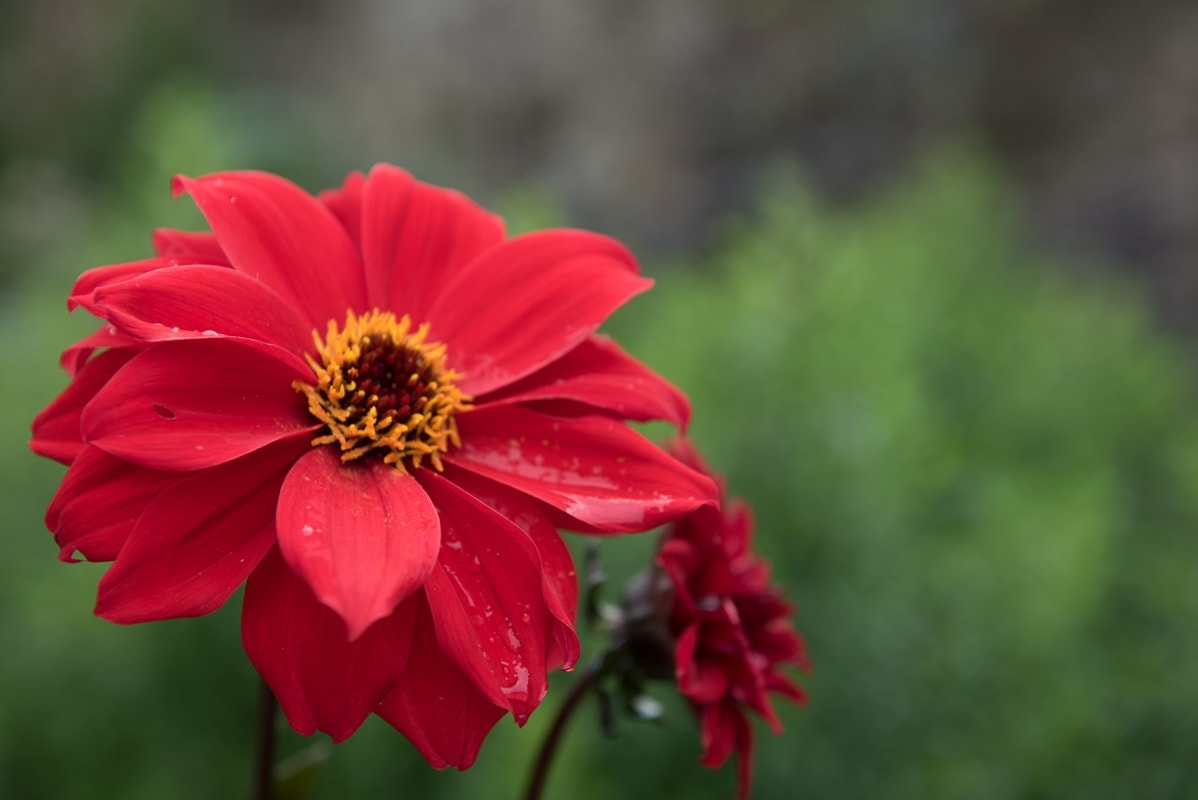 red dahlia at Borde Hill taken on a photography course