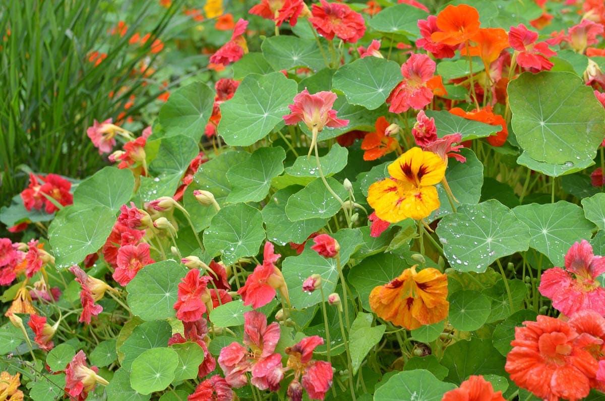 nasturtium flowers at Borde Hill Garden, Sussex
